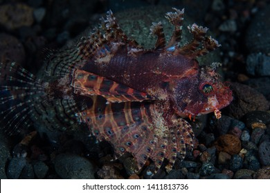 A Shortfin lionfish, Dendrochirus brachypterus, hunts for small prey on the seafloor in Komodo National Park, Indonesia. This tropical area is known for its high marine biodiversity.