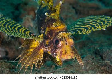 shortfin lionfish Dendrochyrus brachypterus in Gorontalo, Indonesia underwater photo. also known as fuzzy dwarf lionfish.