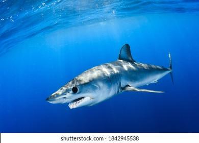 Shortfin mako shark close encounter