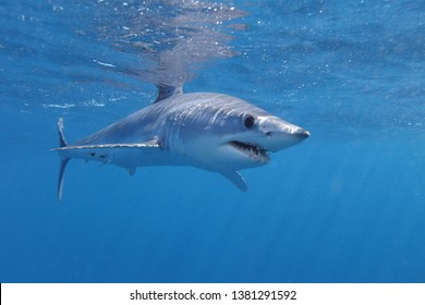 shortfin mako shark, Isurus oxyrinchus, Cape Point, South Africa, Atlantic Ocean