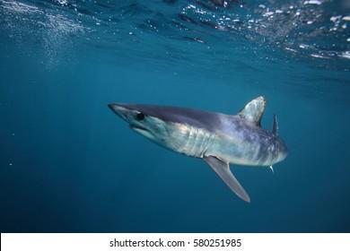 shortfin mako shark, Isurus oxyrinchus, off Cape Point, South Africa, Atlantic Ocean