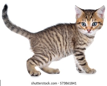 Shorthair brindled kitten goes side view isolated on a white background.