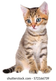 Shorthair brindled kitten isolated on a white background
