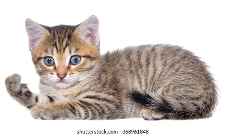 Shorthair brindled kitten lay on a white background.