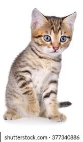 Shorthair brindled kitten on a white background.