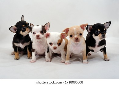 Short-haired rChihuahua puppies of different colors on white background.