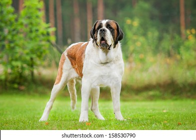 Short-haired saint bernard dog standing on the lawn