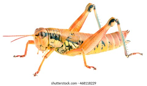 Short-horned grasshopper Podisma pedestris isolated on white background, lateral view