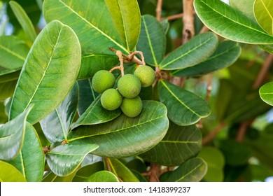 Shortleaf fig a.k.a. wild banyantree (Ficus citrifolia) green fruit closeup - Anne Kolb / West Lake Park, Hollywood, Florida, USA