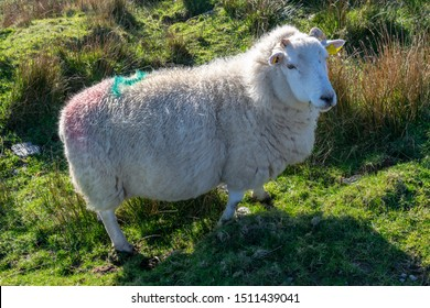 Short-legged, stocky Icelandic sheep with a missing horn on meadow next to hiking trail on Valentia Island in Ireland