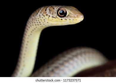 The short-snouted grass snake (Psammophis brevirostris) is a fast moving, diurnal and mildly venomous snake species found in Southern Africa.