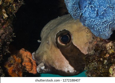 Shortspine Porcupinefish - Black Blotched Porcupinefish (Diodon Liturosus) peeking out of its hiding place on the coral reef.