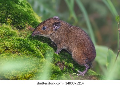 The Short-tailed Gymnure, or Lesser Gymnure, is a diminutive insectivore which inhabits hilly to montane forest, in places up to elevations of 3400 metres, It is rarely found in lowland habitats.