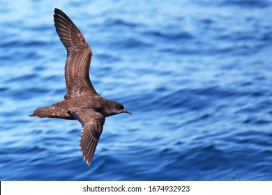 Short-tailed shearwater in flight off the coast of New Zealand