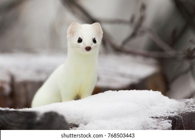Short-tailed Weasel Mustela erminea in white winter fur at Simpson Lake, Yukon, Canada