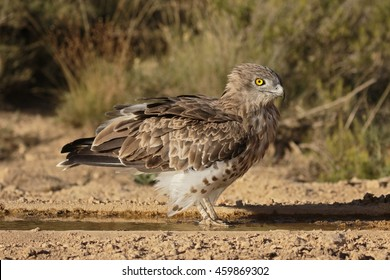 Short-toed eagle, Circaetus gallicus, Single bird by water, Spain, July 2016