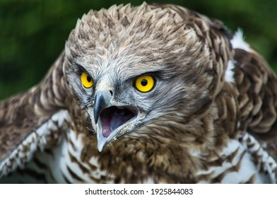 short-toed eagle with open beak and threatening attitude and yellow eyes