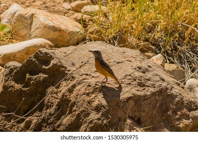Short-toed Rock Thrush Latin name: Monticola brevipes