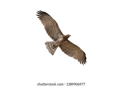 Short-toed snake eagle flying isolated on white background. Short-toed snake eagle flying in the sky