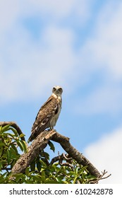 Short-toed snake eagle sitting on a tree branch and looking