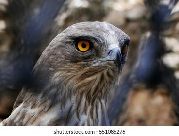 Short-Toed Snake Eagle through a fence