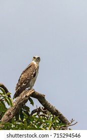 Short-toed snake eagle in a tree