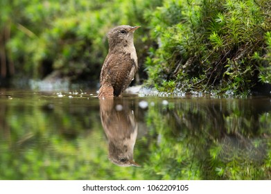 Short-toed treecreeper (Certhia brachydactyla) in a water hole in the forest in the Netherlands.
