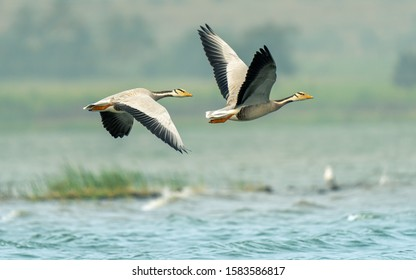 Shot of Bar headed geese flying over the lakes of Bhigwan during migration season