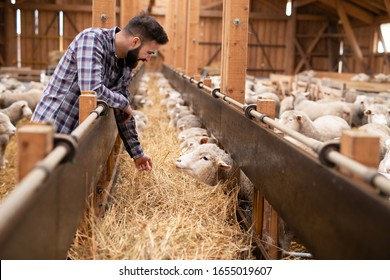 Shot of a bearded farm worker in casual clothes feeding sheep domestic animals at the farm. Food production.