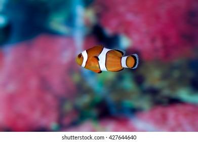 A shot of a beautiful common clownfish