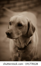 Neapolitan Mastiff Dog Stock Photo (Edit Now) 1010722867 - Shutterstock