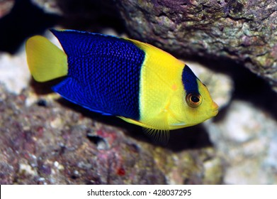 A shot of a beautiful young specimen of bicolor angelfish