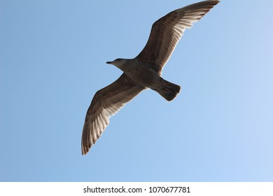 Shot from below of Flying Seagull in Color