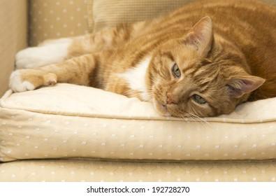 A shot of a Big fat ginger cat - Shutterstock ID 192728270