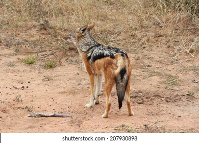 Shot of a black backed jackal showing it's back and tail