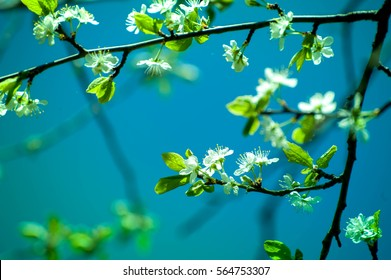 Shot of blooming cherry tree blossoms on blue background. Spring time, animals, nature is awakening, birds are singing, Fresh, aromatic air. Bees seeking nectar. Perfect time for outdoor activities