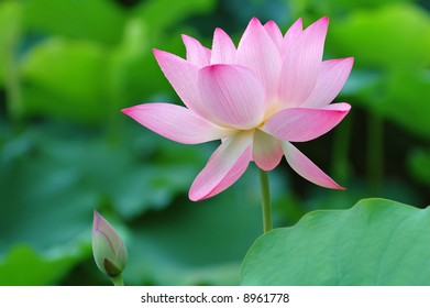 The shot of blooming lotus flower and a bud