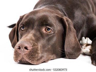 Shot of a brown labrador in front of a white background