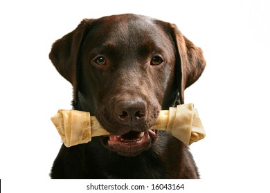 Shot of a chocolate labrador with a bone in this mouth