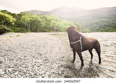Shot of a Chocolate Labrador by Lake