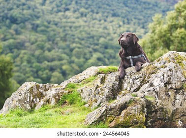 Shot of a Chocolate Labrador in Countryside