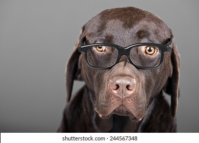 Shot of a Chocolate Labrador in Glasses