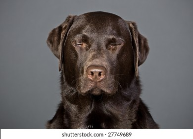 Shot of a Chocolate Labrador with his Eyes Shut