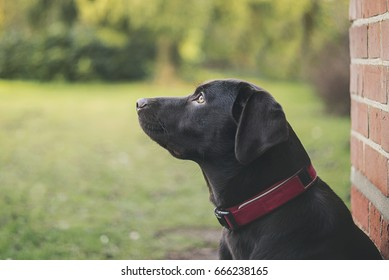 Shot of a Chocolate Labrador Puppy Outdoors