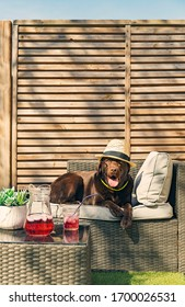 Shot of a Chocolate Labrador relaxing on a summer's day