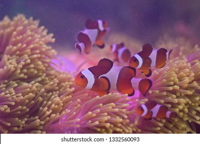 A shot of clown fish swimming freely around corals