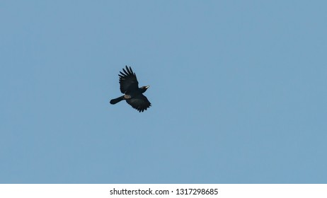 A shot of a crow flying though a blue sky.