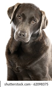 Shot of a Cute Chocolate Labrador with Head Tilted