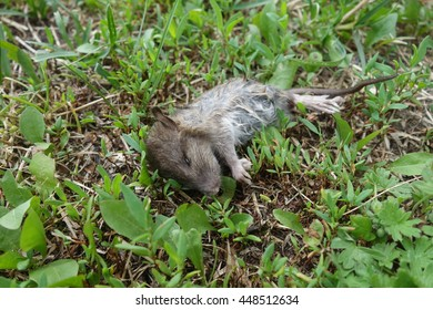A shot of a dead mouse, killed by a cat, and left on a garden lawn.