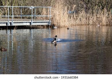 Shot of ducks swimming in the lake